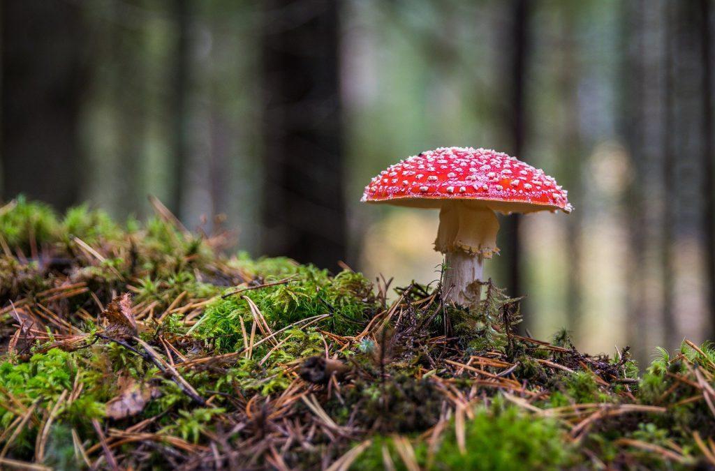 Het verschil tussen zwammen en paddenstoelen